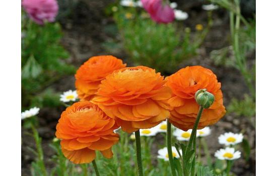 Ранункулюс або Жовтець - квіти із шармом та витонченістю: посадка та догляд