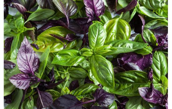 Базилик – средиземноморский аромат и нежный вкус: пряная зелень и отличная приправа