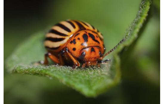 Колорадський жук – як врятувати картоплю та ін. пасльонові: препарати та народні засоби