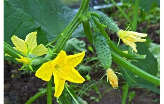 Семена огурцов: как подобрать сорта и гибриды, преимущества и особенности