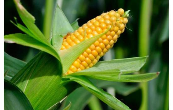 Все, що треба знати про кукурудзу: різновиди сортів, посадка та догляд