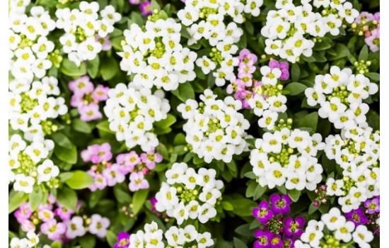 ТОП-10: однолетние цветы без рассады – цветущая клумба без забот