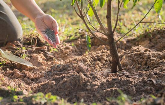 Удобрюємо плодовий сад восени просто та правильно: після збору врожаю і перед приходом зими