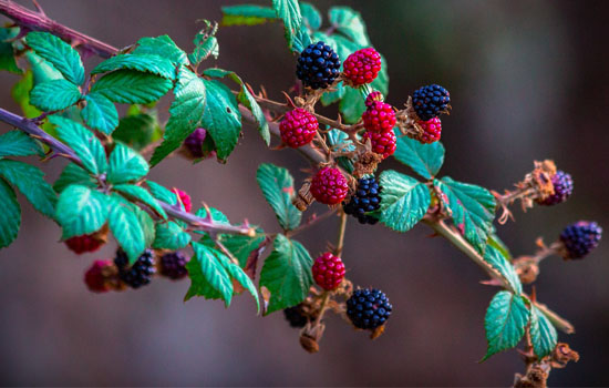 Ожина і ремонтантна малина: осіння посадка саджанців та підготовка дорослих рослин до зими