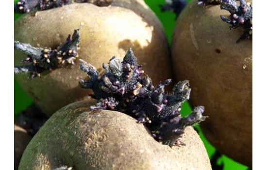 Протравители клубней картофеля и луковиц цветов, обработка семян и рассады – надежная защита и стимуляция растений