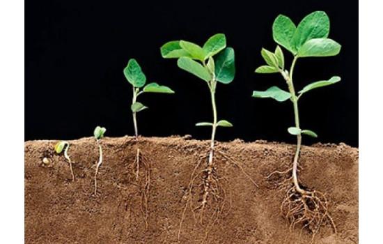 Біостимулятори та регулятори росту – коренеутворення та вкорінення живців, схожість насіння та енергія росту