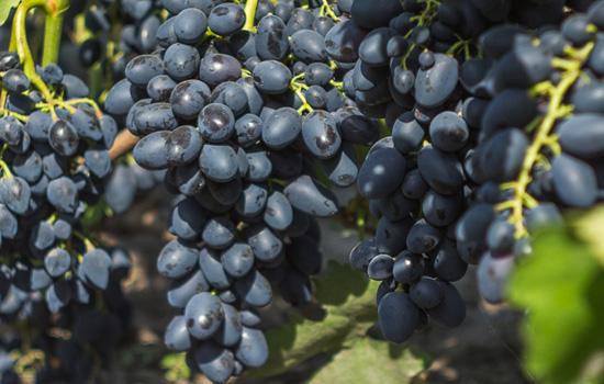 Як захистити виноград від хвороб і шкідників, календарна схема обробки