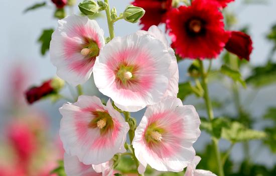 10 лучших двулетних и многолетних цветов для посева летом