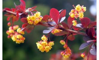 Барбарис - роскошные декоративные кустарники для сада. Правильная посадка и уход