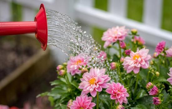 Жоржини - догляд влітку за квітучими кущами