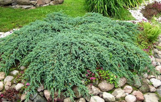 Ялівець - особливості видів та кращі сорти в дизайні саду