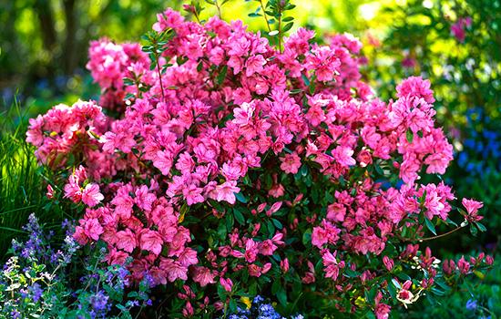 Азалия японская - правильная посадка и уход, залог пышного цветения