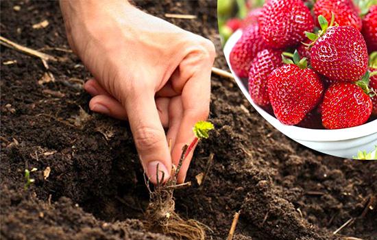 Клубника фриго - современная технология рассады, преимущества и особенности выращивания