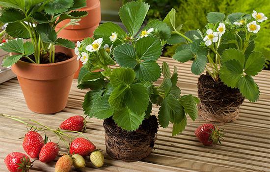 Клубника - посадка и уход: как вырастить много вкусных ягод