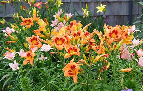 Лилейник и Лилия: похожие названия - разные растения, отличия и преимущества