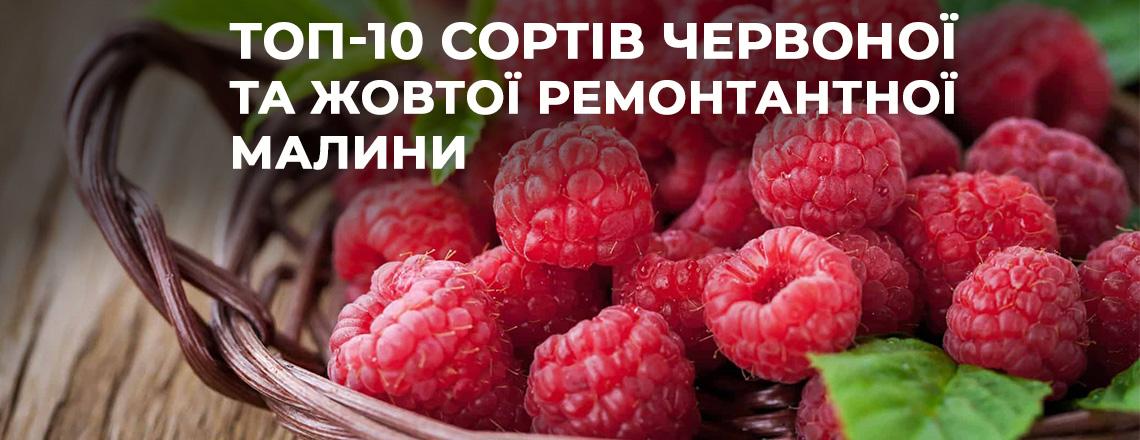 Топ-10 сортів червоної та жовтої ремонтантної малини - як отримати два врожаї за сезон