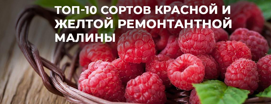 Топ-10 сортов красной и желтой ремонтантной малины - как получить два урожая за сезон