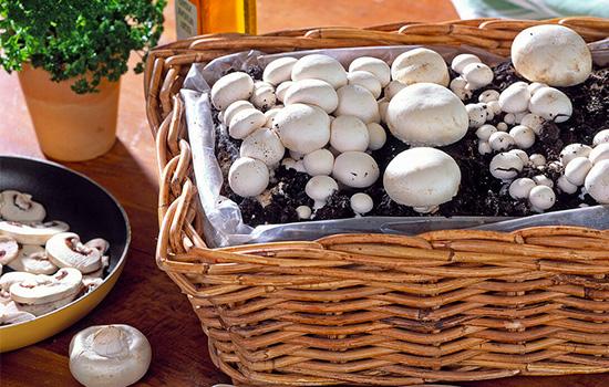 Печериці: як виростити гриби на грядці, в теплиці, в домашніх умова - покрокова інструкція