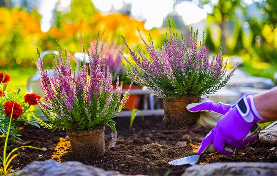 Вереск - как создать прекрасный вересковый сад: сорта, посадка и уход