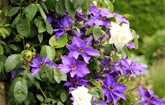 Принципи вертикального озеленення: Топ-10 плетистих і витких рослин для саду