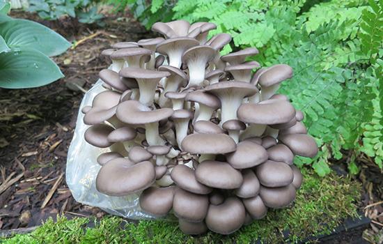 Гливи: як виростити смачні гриби з міцелію в саду, і в домашніх умовах?