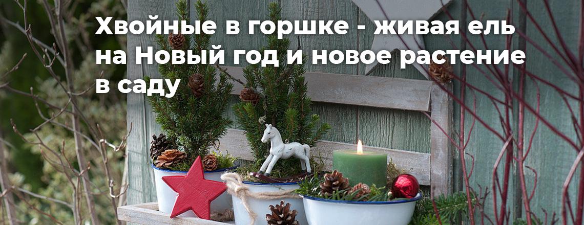 Хвойні в горщику: жива ялина на Новий рік та нова рослина в саду