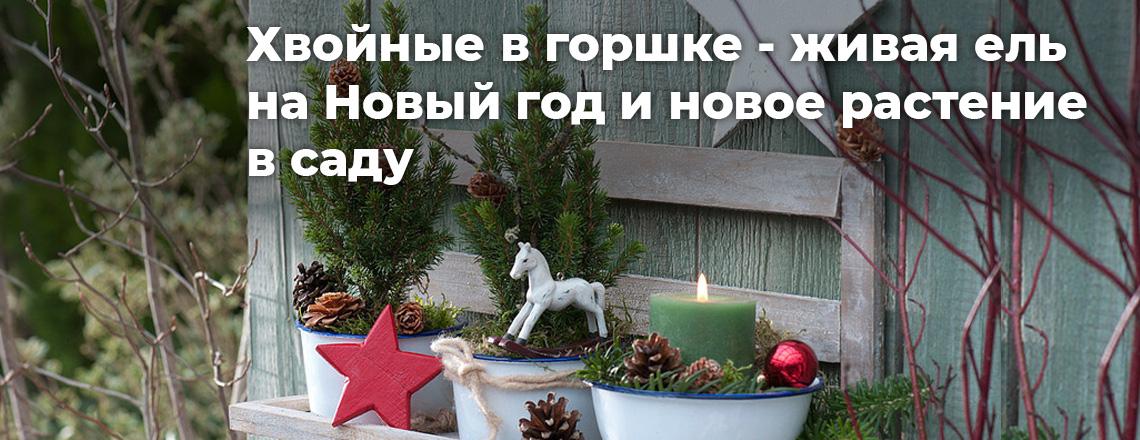Хвойные в горшке: живая ель на Новый год и новое растение в саду