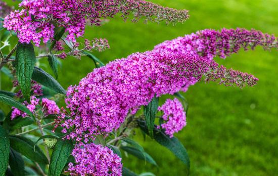Буддлея Давида - правила посадки і догляду. Ароматні суцвіття-свічки, пишне цвітіння до заморозків.
