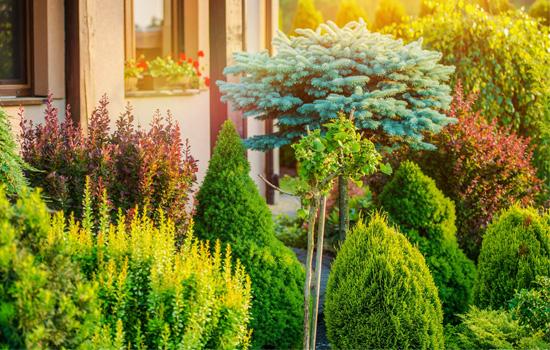 Хвойні рослини: осінній догляд, підготовка до зими