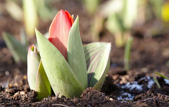 Цибулинні осіння посадка: чому цибулини зійшли ще до зими і що робити?