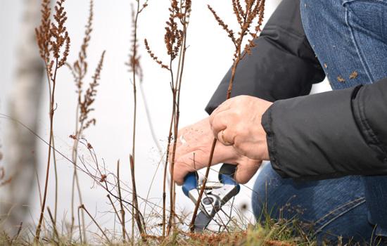 Трав'янисті багаторічники: осіння обрізка – які рослини, коли, як обрізати?