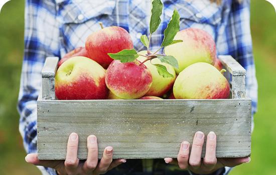 Яблони: когда собирать и как хранить плоды