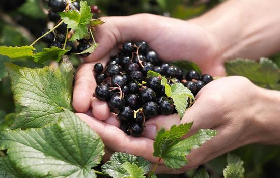 Смородина: 7 правил догляду від збору ягод і до осені