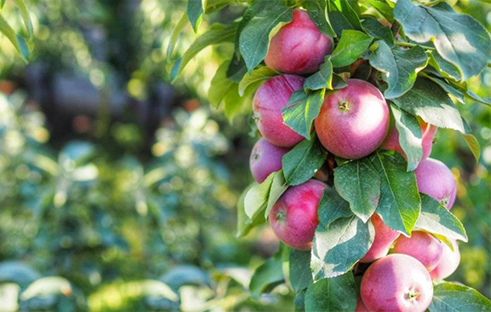 Колоновидные плодовые: как выращивать компактные деревья в саду