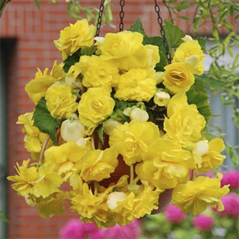 Бегонія Ампельна Жовта