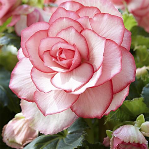 Бегонія Бутон Троянди