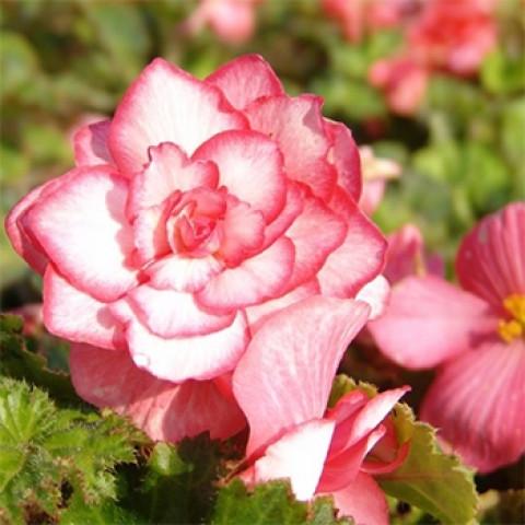 Бегония Бутон Розы