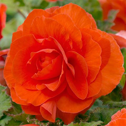 Бегония Махровая Оранжевая