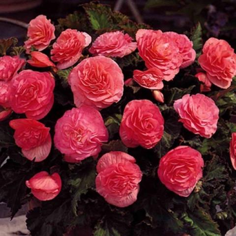 Бегония Махровая Розовая