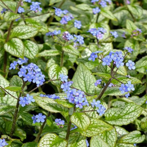 Бруннера Macrophylla