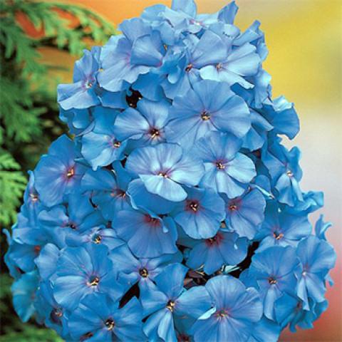 Флокс Blue Boy