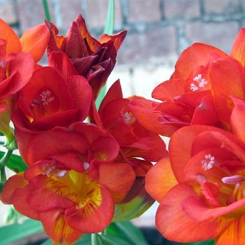 Фрезия полная Orange