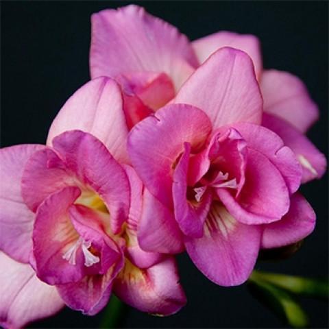 Фрезия полная Rose