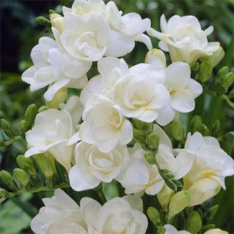 Фрезия полная White