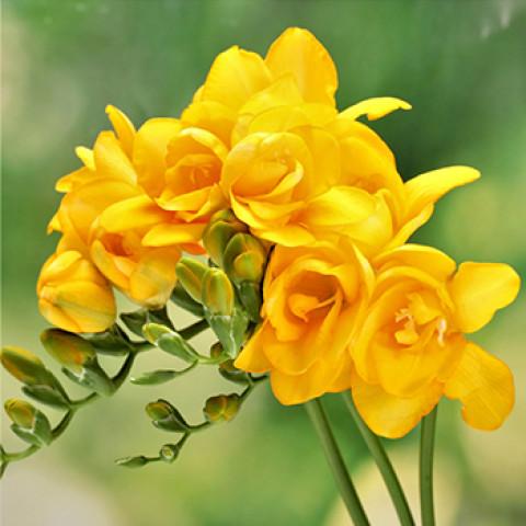 Фрезия полная Yellow