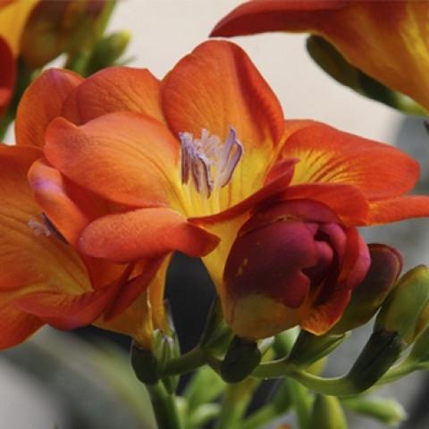 Фрезия простая Orange