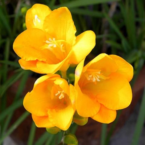 Фрезія проста Yellow