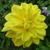 Георгина высокорослая Golden Emblem