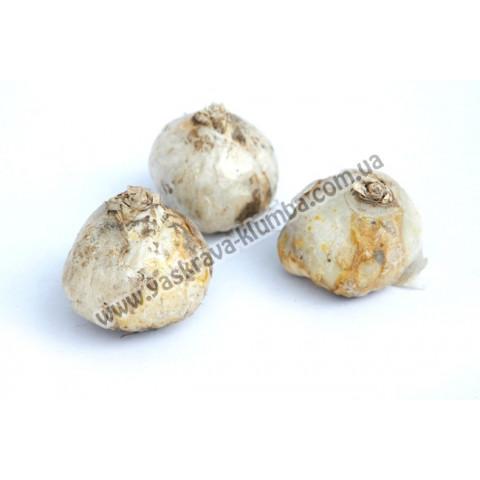 Гіацинт махровий Chestnut Flower