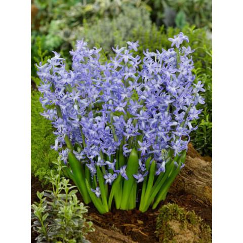 Гиацинт многоцветковый Blue Festival